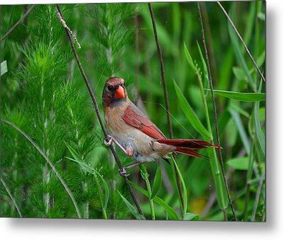Female Cardinal - C5527a Metal Print by Paul Lyndon Phillips