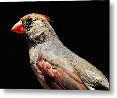 Female Cardinal Metal Print by Paulette Thomas