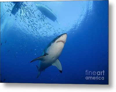 Female Great White, Guadalupe Island Metal Print by Todd Winner