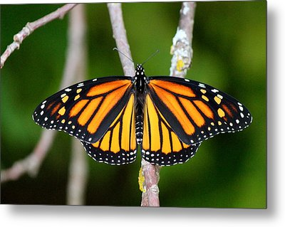 Female Monarch Metal Print