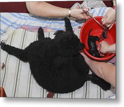Female Poodle Gives Birth Metal Print by Photostock-israel