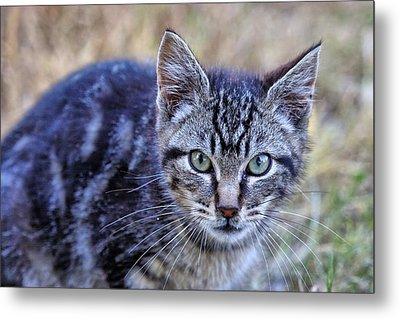 Metal Print featuring the photograph Feral Kitten by Chriss Pagani