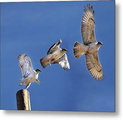 Ferruginous Hawk In Flight Metal Print by Utah-based Photographer Ryan Houston