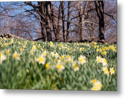 Field Of Daffodils Metal Print