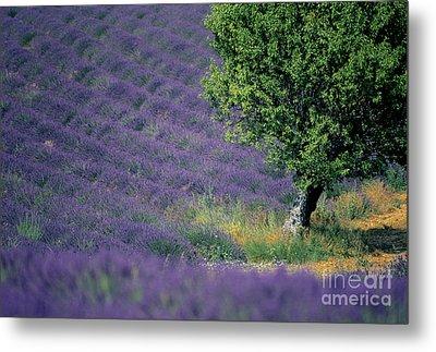 Field Of Lavender Metal Print by Bernard Jaubert