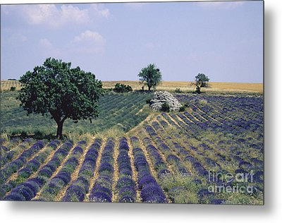 Field Of Lavender. Sault. Vaucluse Metal Print by Bernard Jaubert