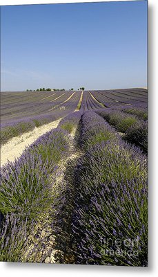 Field Of Lavender. Valensole. Provence Metal Print by Bernard Jaubert
