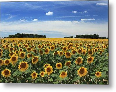 Field Of Sunflowers France Metal Print by Pauline Cutler