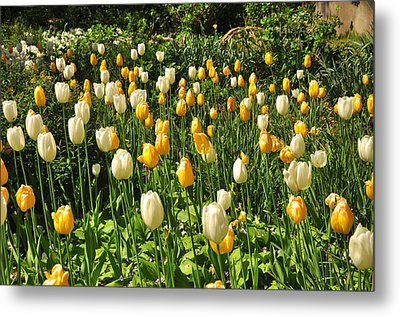 Metal Print featuring the photograph Field Of Tulips by Helen Haw