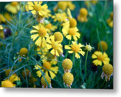 Field Of  Yellow Daisies  Metal Print by Ester  Rogers