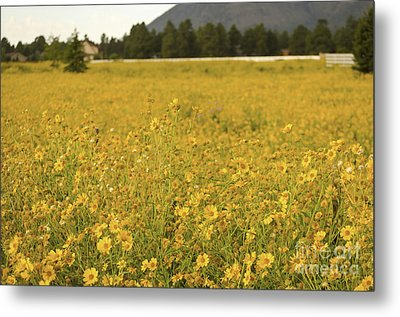 Field Of Yellow Daisy's Metal Print by Donna Greene