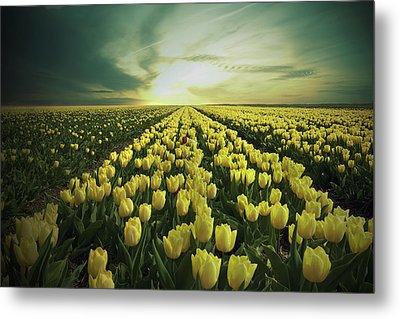 Field Of Yellow Tulips Metal Print by Maik Keizer