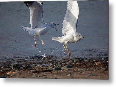 Fighting Gulls Metal Print by Karol Livote