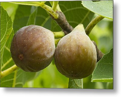Metal Print featuring the photograph Figs by Carrie Cranwill