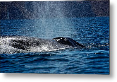 Metal Print featuring the photograph Fin Whale Spouting by Don Schwartz