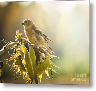 Finch Aglow Metal Print by Cheryl Baxter