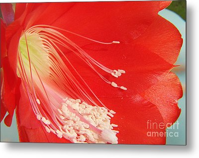 Fire Cactus Metal Print by Priscilla Richardson