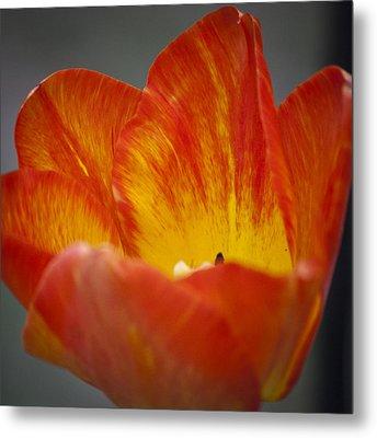 Firey Tulip Squared Metal Print