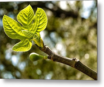 First Leaves And Fig  Metal Print by Barbara Middleton