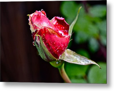 First Rose Metal Print by Bill Owen