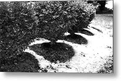 First Snow Boxwoods Metal Print
