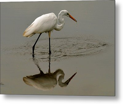 Fishing Egret With Droplets - C3282q Metal Print by Paul Lyndon Phillips