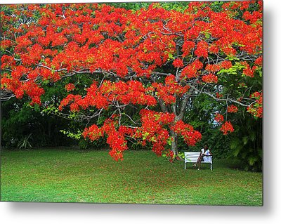 Metal Print featuring the photograph Flamboyant Tree- St Lucia by Chester Williams