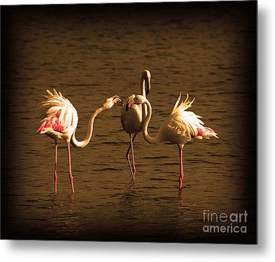 Flamingos Argue Metal Print by Radoslav Nedelchev