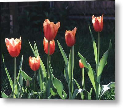 Metal Print featuring the photograph Flared Red Yellow Tulips by Tom Wurl
