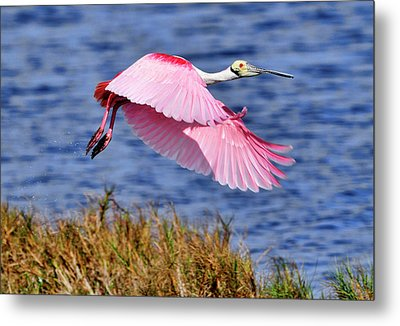 Flight A Roseate Spoonbill Metal Print
