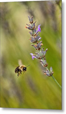 Flight Of The Bumble Metal Print by Karol Livote
