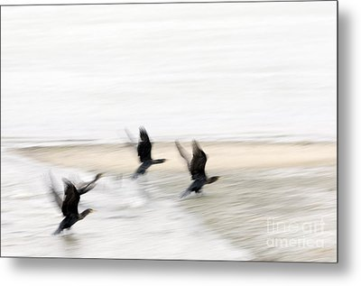Flight Of The Cormorants Metal Print by David Lade