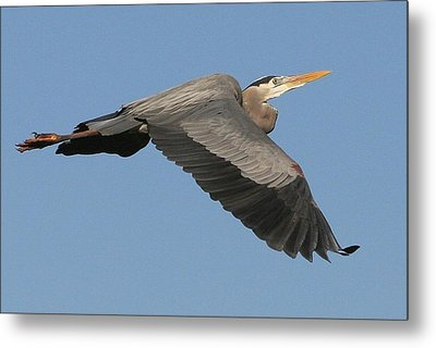 Metal Print featuring the photograph Flight Of The Great Blue Heron by Myrna Bradshaw