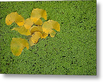 Floating Cottonwood Leaves Metal Print by Peg Toliver