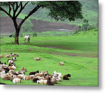 Flock Of Sheep Metal Print by Happy happy world