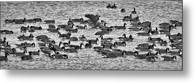 Metal Print featuring the photograph Flockin' Around by Kevin Munro