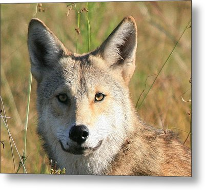 Florida Coyote Portrait  Metal Print