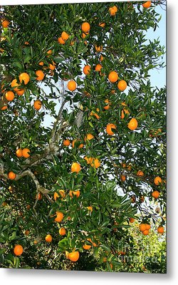 Florida Oranges Metal Print by Carol Groenen