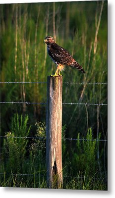 Florida Red-shouldered Hawk Metal Print by Ronald T Williams