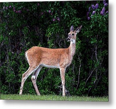 Flower Deer Metal Print by Steve McKinzie