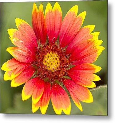 Flower Power Metal Print by Daphne Sampson