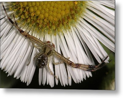 Flower Spider On Fleabane Metal Print