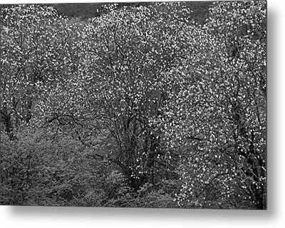 Metal Print featuring the photograph Flowering Trees- St Lucia by Chester Williams