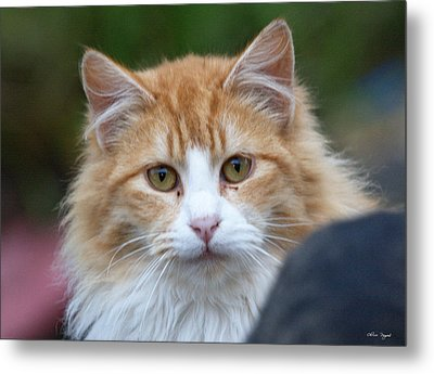 Metal Print featuring the photograph Fluffy Orange by Chriss Pagani