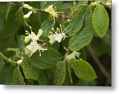 Fly Honeysuckle (lonicera Xylosteum) Metal Print by Bob Gibbons