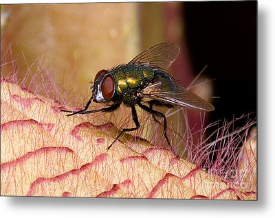 Fly On Carrion Flower Metal Print by Dant� Fenolio