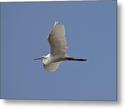Metal Print featuring the photograph Flying Egret by Jeannette Hunt