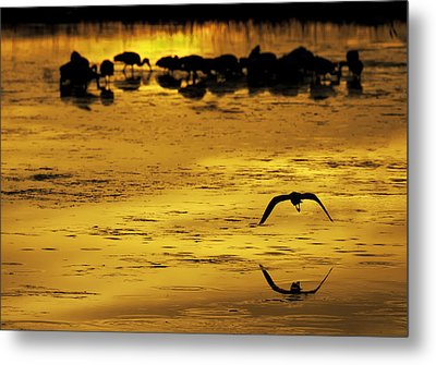 Flying Home - Florida Wetlands Wading Birds Scene Metal Print by Rob Travis