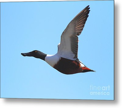 Flying Northern Shoveler Duck . 7d8729 Metal Print by Wingsdomain Art and Photography