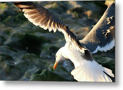 Metal Print featuring the photograph Flying Seagull by Michael Rock